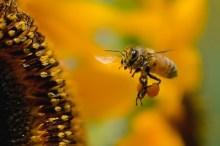 ミツバチ 刺されたら