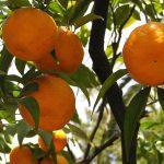 """Mandarinier """"Keraji"""" -13ºC ( Bouture)"""