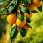 Mandarinier Okitsu/ FA5. -12°C.