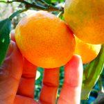 Mandarinier Owari/ FA5. -12°C.