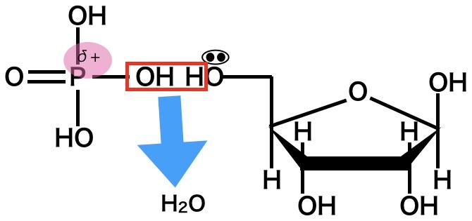 リン酸とリボースのリン酸エステル