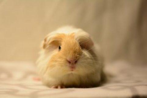 guinea-pig-587898_960_720