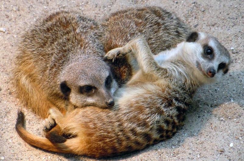 ミーアキャットのペットとしての飼い方|飼育環境・繁殖・餌