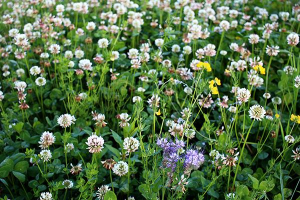 Vitklöver och käringtand är två kvävefixerande växter som vi använder i örtskiktet i vår skogsträdgård.