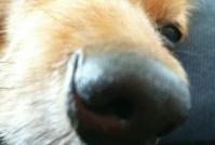【2018年11月】今週のピコ(犬)&モコさん(犬) ピコさん夜のお出迎え