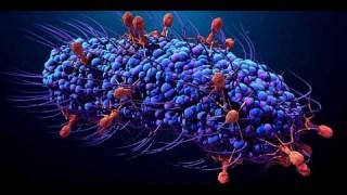 Le Virus attaque une bactérie de notre flore !