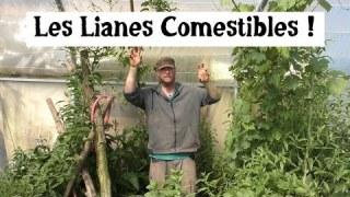 Forêt-comestible : Cultiver des lianes