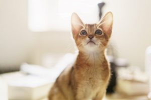 abyssinian kitten wild color indoor portrait, shallow focus