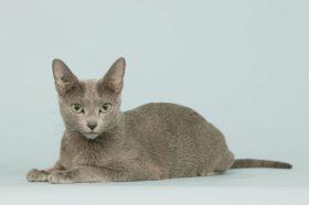chat bleu russe allong en studio,sur fond bleu,dtourable