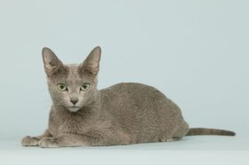 chat bleu russe allong en studio,sur fond bleu,dtourable
