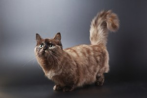 The cat of breed of munchkin