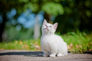 adorable short legged munchkin kitten