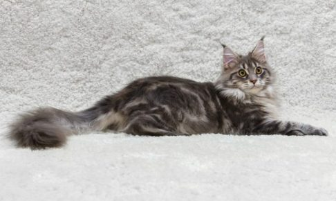 Maine coon cat on white background fur