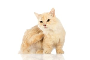 White cat Munchkin on white background