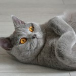 Portrait of a british shorthair cat with expressive orange eyes, that's laying on the floor.