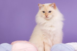 Ragdoll with wool and purple background