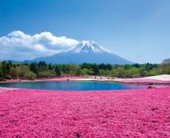 富士芝桜まつり グルメ ご当地 混雑予想 回避方法