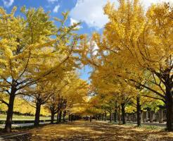 昭和記念公園,紅葉,見頃,時期,ライトアップ,混雑,アクセス