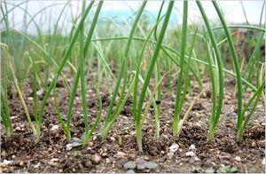 玉ねぎ栽培
