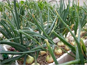 プランター栽培 玉ねぎ