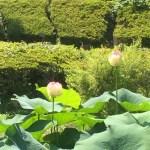 二宮せせらぎ公園ハスの花