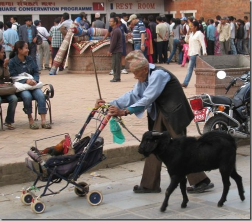 rooster_on_stroller_goat_follows_old_man_2