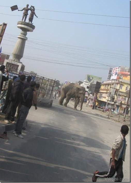 wild_elephant_in_city