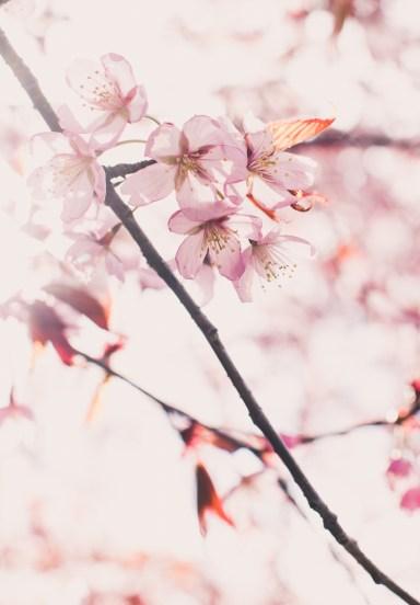 cherry blossom44 (1 of 1)