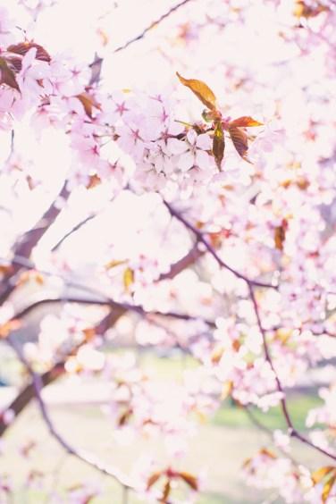 cherry blossom May