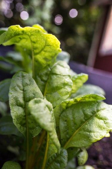 salad garden (1 of 1)