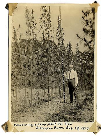 HANDOUT PHOTO: Lyster H. Dewey measuring a 4 meter tall hemp plant at Arlington Farm, August 28, 1929. (Courtesy of Adam Eidinger/ Hemp Industries Association) StaffPhoto imported to Merlin on Mon May 10 20:11:09 2010