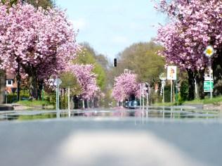 Kirschblüte Apensen