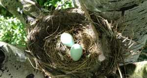 robin bird eggs