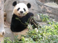 Popular Giant Panda Ling Ling dies