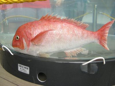 Tai-robot-kun, robotic red snapper