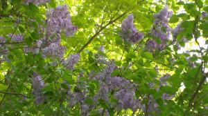 20140514XD-LilacsBlooming 001_smallr
