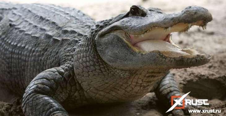 Аллигаторы способны отращивать хвосты