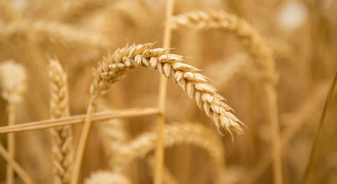 UK Scientists Apply for Clearance for Genetically Modified Wheat Trial