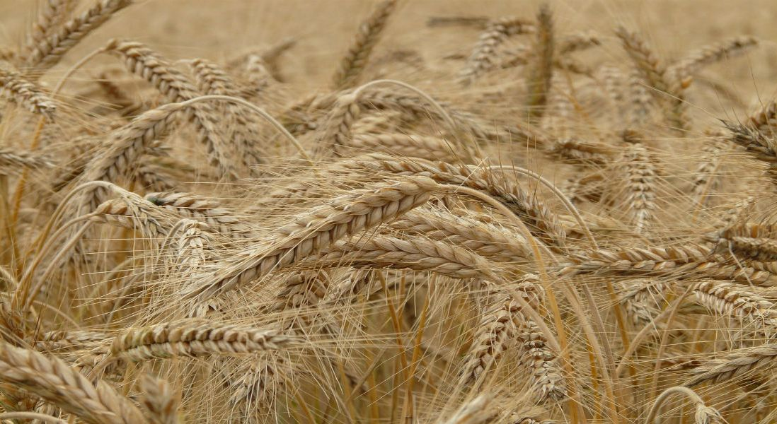 Food Scientists Find Compound in Cereal Grain That Could Act as a New Natural Preservative