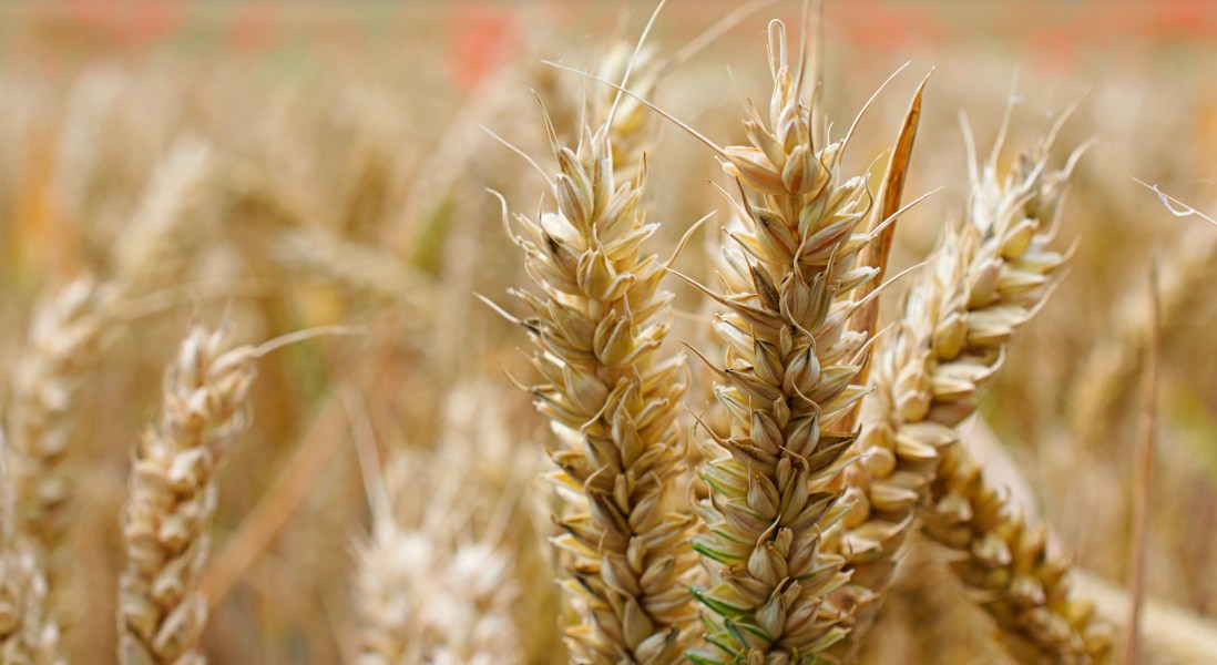Promising Treatment for Celiac Disease Draws Attention from Takeda