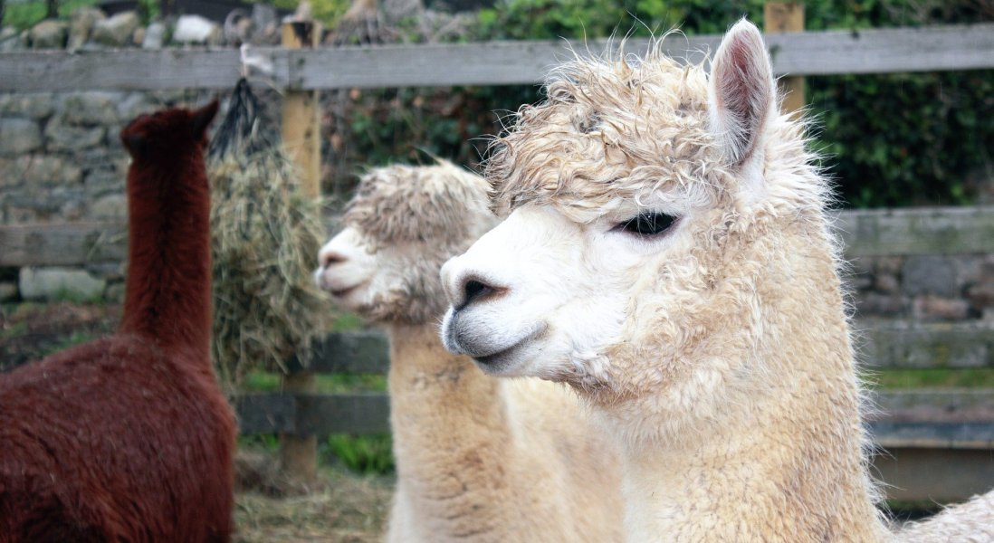 Scientists Use Llama Antibodies to Neutralize COVID-19