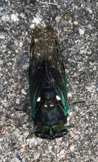 Cicada 10