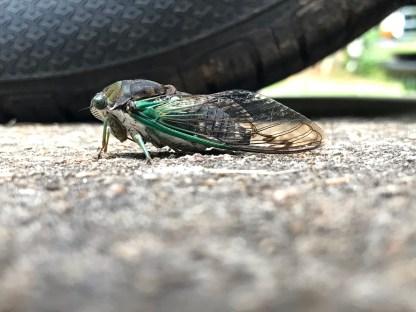 Cicada 11