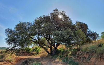 L'Ajuntament de Moixent realitza una ordenança per tal de protegir els arbres monumentals