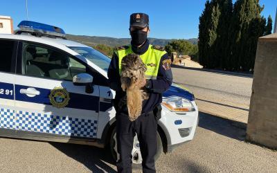 La Policia Local de la Font de la Figuera rescata un Mussol Reial ferit