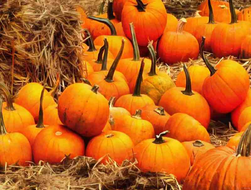 a pumpkin field - getting ready to celebrate Samhain