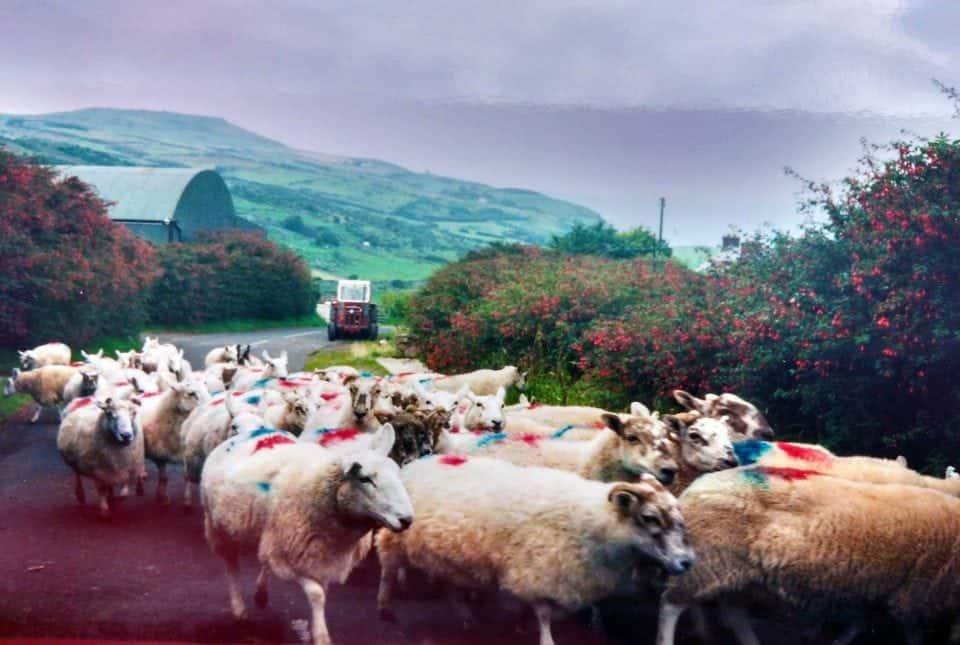 herding sheep in the Glens