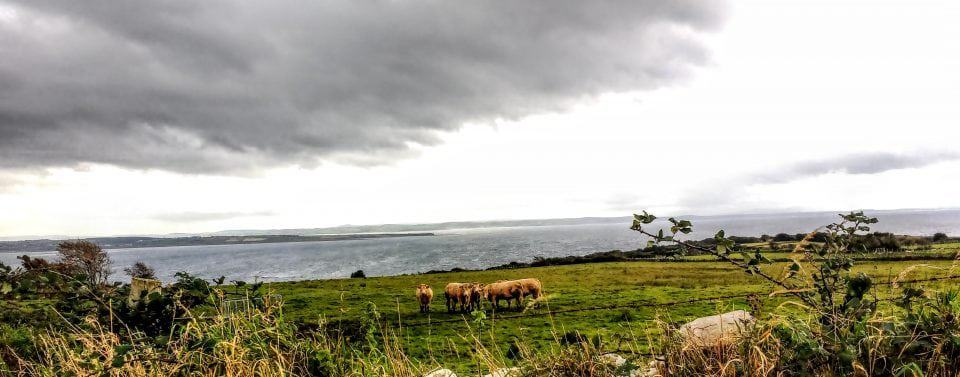 renting a car in Ireland and traveling the Wild Atlantic Way coast a field of sheep grazing under the very grey skies of Donegal