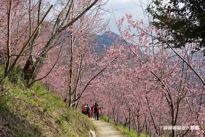 新竹尖石司馬庫斯櫻花盛開!超夢幻浪漫的粉紅秘境,上帝的部落逾千棵櫻花綻放宛若仙境