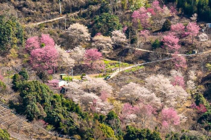 新竹賞櫻秘境 萬里山園,被稱為遠得要命的賞櫻秘境!賞櫻期進入倒數錯過再等明年